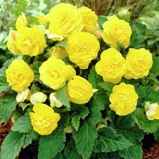 Plant With Red Clematis Yellow Tuberous Begonia Begonia Spring Bulbs From American Meadows Tuberous Begonia Begonia Showy Flowers