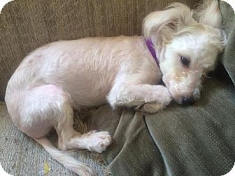 Toy Poodle Mix Dog For Adoption In Traverse City Michigan Poppy Poodle Mix Dog Adoption Poodle Mix Dogs