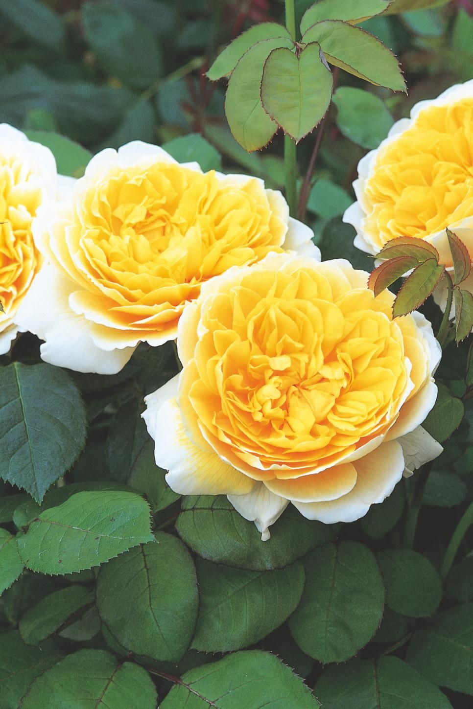 The most popular english roses in america david austin beautiful british rose breeder david austin creates some of the most beautiful flowers in the world izmirmasajfo