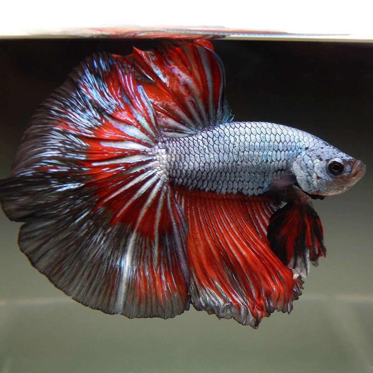 Live Betta Fish (Male) METALLIC SILVER BLUE DRAGON HALFMOON ...