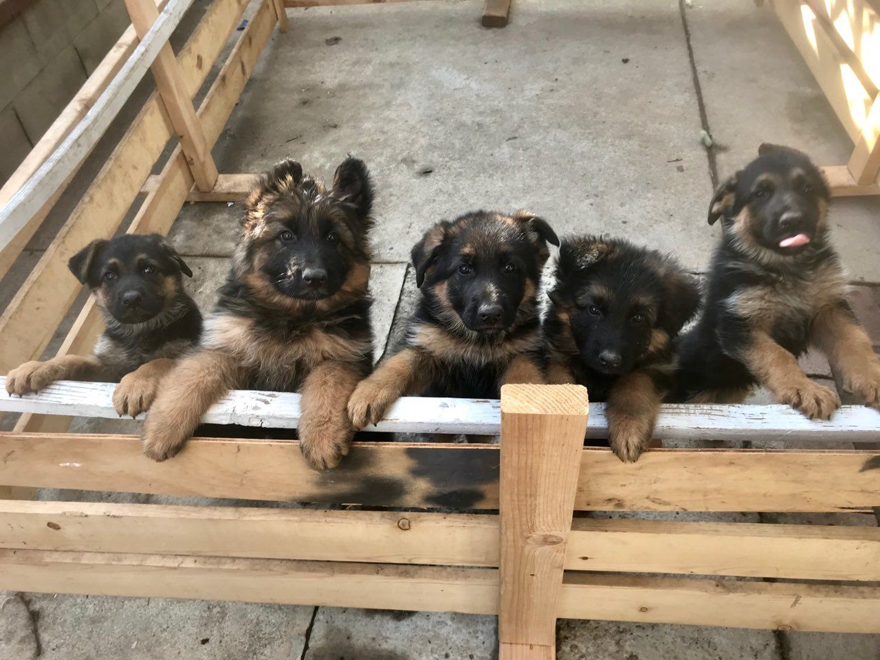 German Shepherd Puppies German Shepherd Puppies German Shepherd