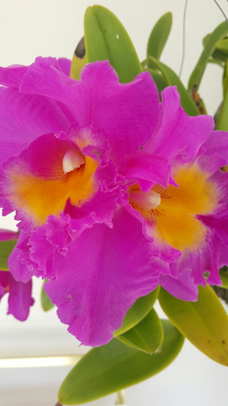 Beautiful purple orchid with images orchids purple