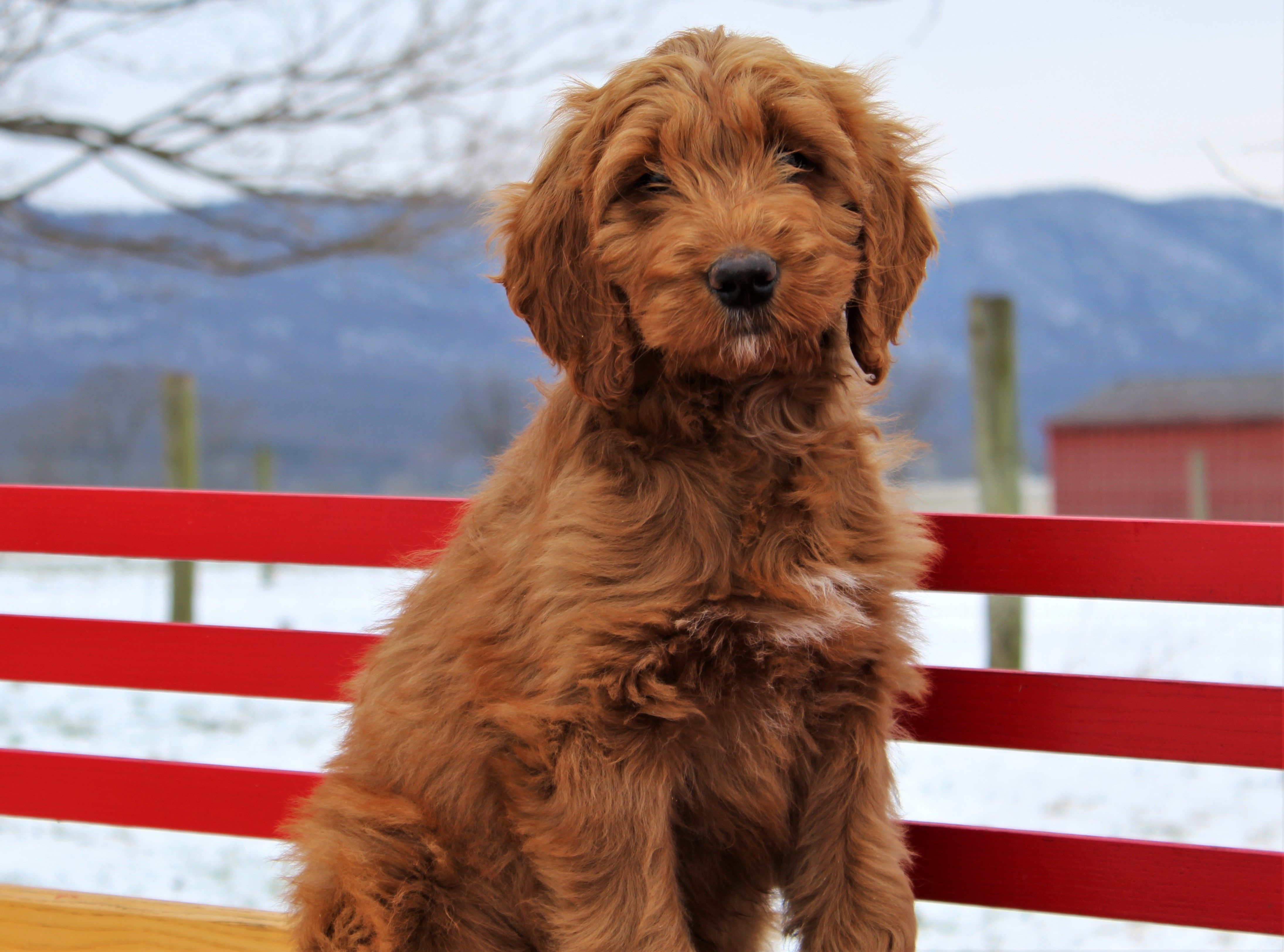 Puppies For Sale Usa Dogs For Sale Near Me At Infinity Pups