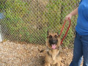 134 136 Is An Adoptable German Shepherd Dog Dog In Flint Mi