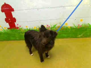 Petfinder  Adoptable | Dog | Pomeranian | Moreno Valley, CA | A432232 Urgent at Moreno Valley