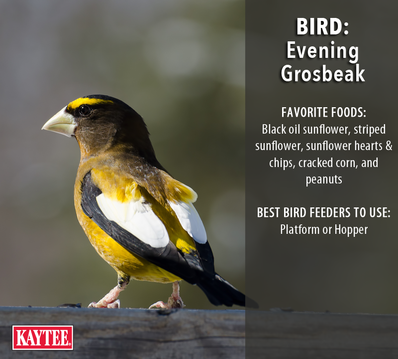 Evening Grosbeaks Are Easy To Attract With The Right Seed