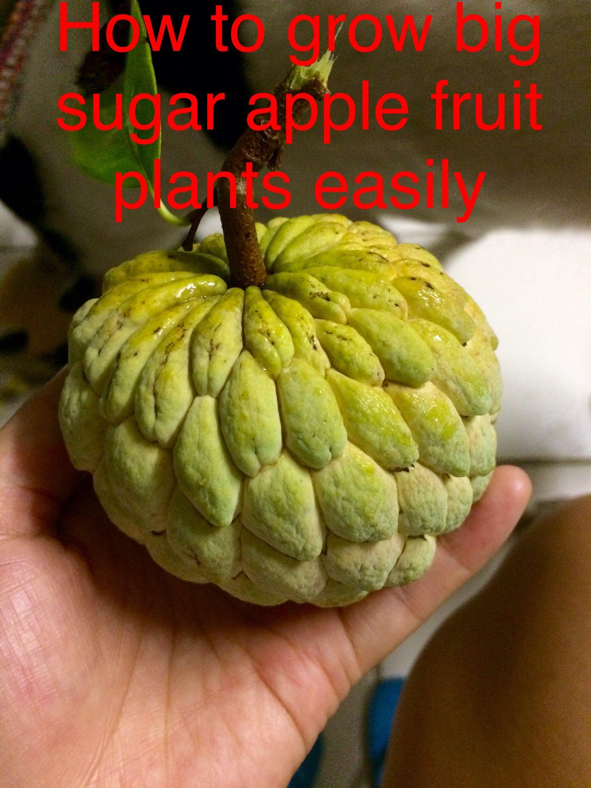 How To Grow Huge Sugar Apple Fruit Plants Easily Growing Fruit Trees Sugar Apple Fruit Apple Fruit