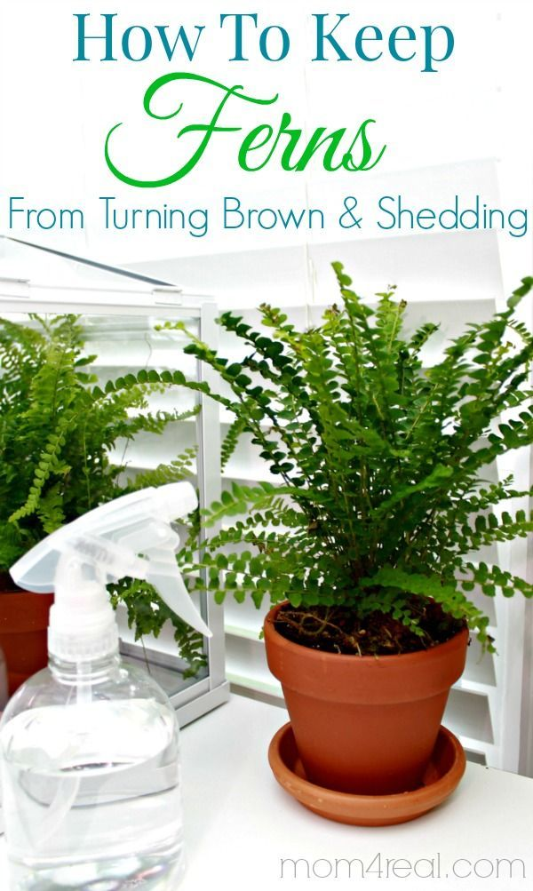 How to keep ferns from turning brown and shedding - Tip of the Day at  Be sure to check back daily for amazing tips and tricks!