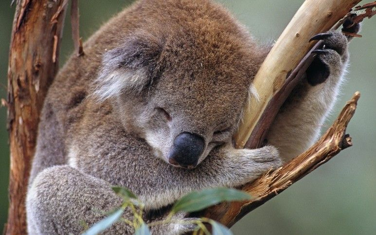 Cute Koala Koala Koala Bear Animal Wallpaper