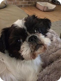 Euless Tx Shih Tzu Mix Meet Rich Edson A Dog For Adoption