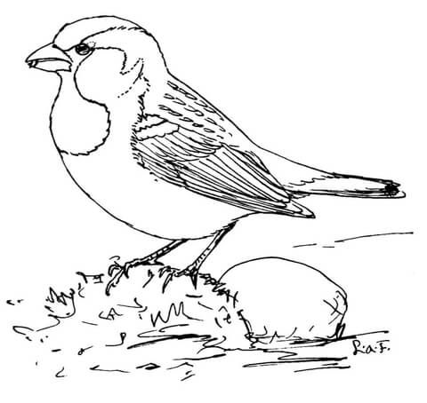 House Sparrow Coloring Page Bird Coloring Pages Coloring Pages