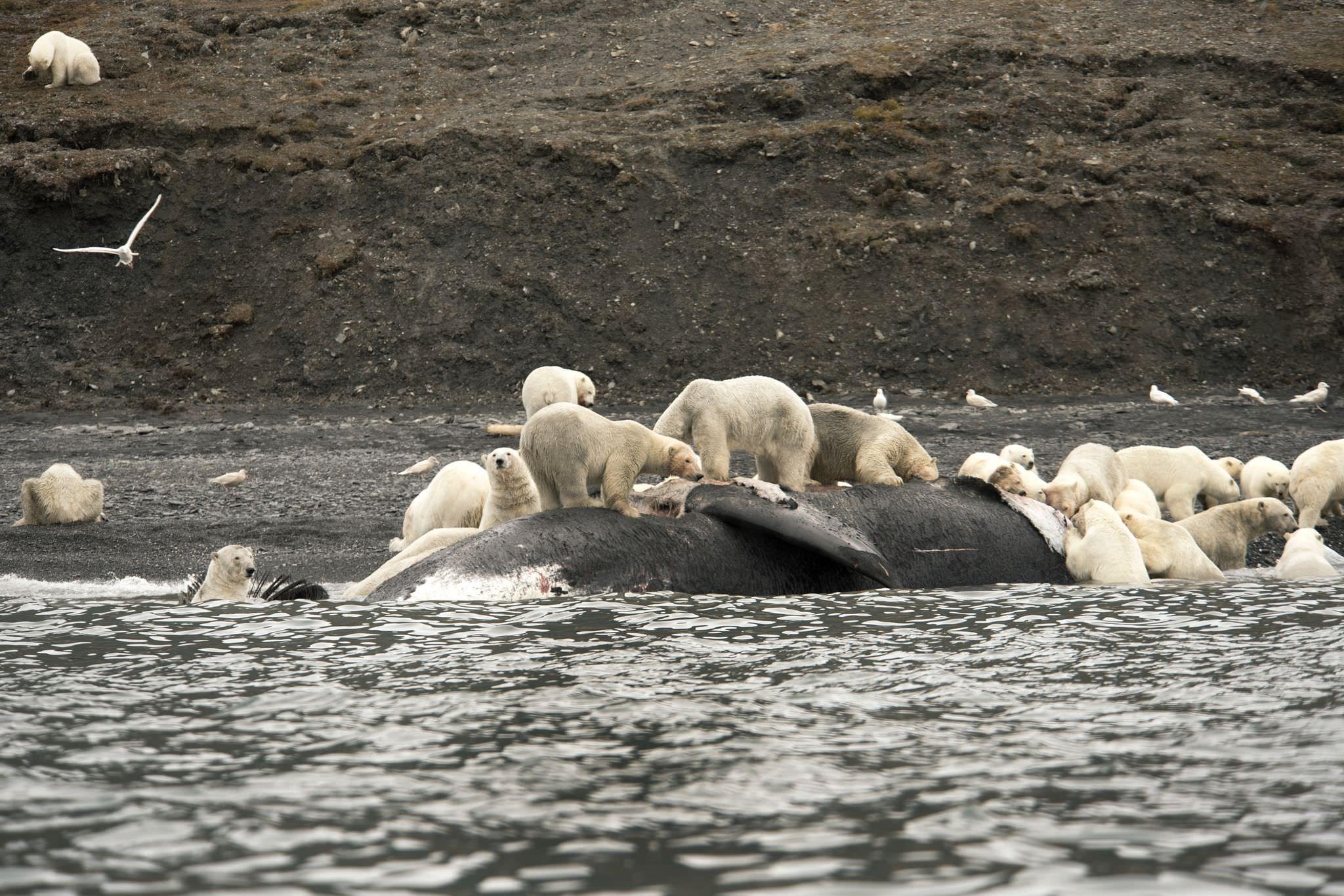Polar Bears feast on Bowhead Whale