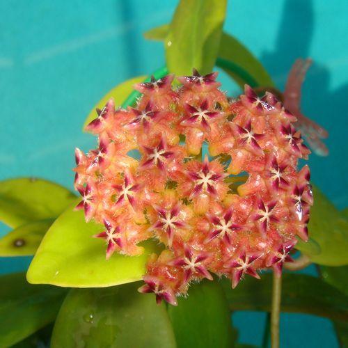 Hoya mindorensis 'True Red' $$$$ SRQ 3122 Hoya mindorensis 'True Red' - $20.00 : Hoya Plants and Cuttings