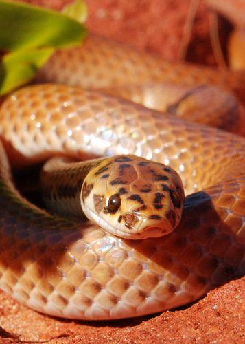 ˚Little Spotted Snake (Suta punctata)