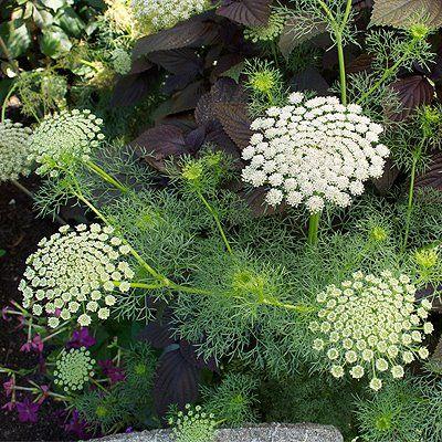 annual - Ammi visnaga \'Green Mist\' via Casa Mariposa. Swallowtail ...