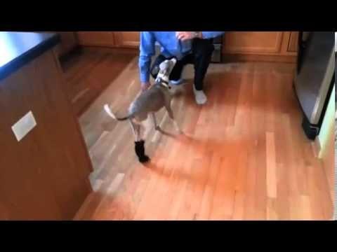 Romp Italian Greyhound Rescue Chicago