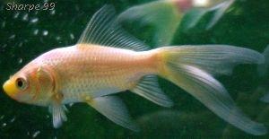 Goldfish Varieties: Comet