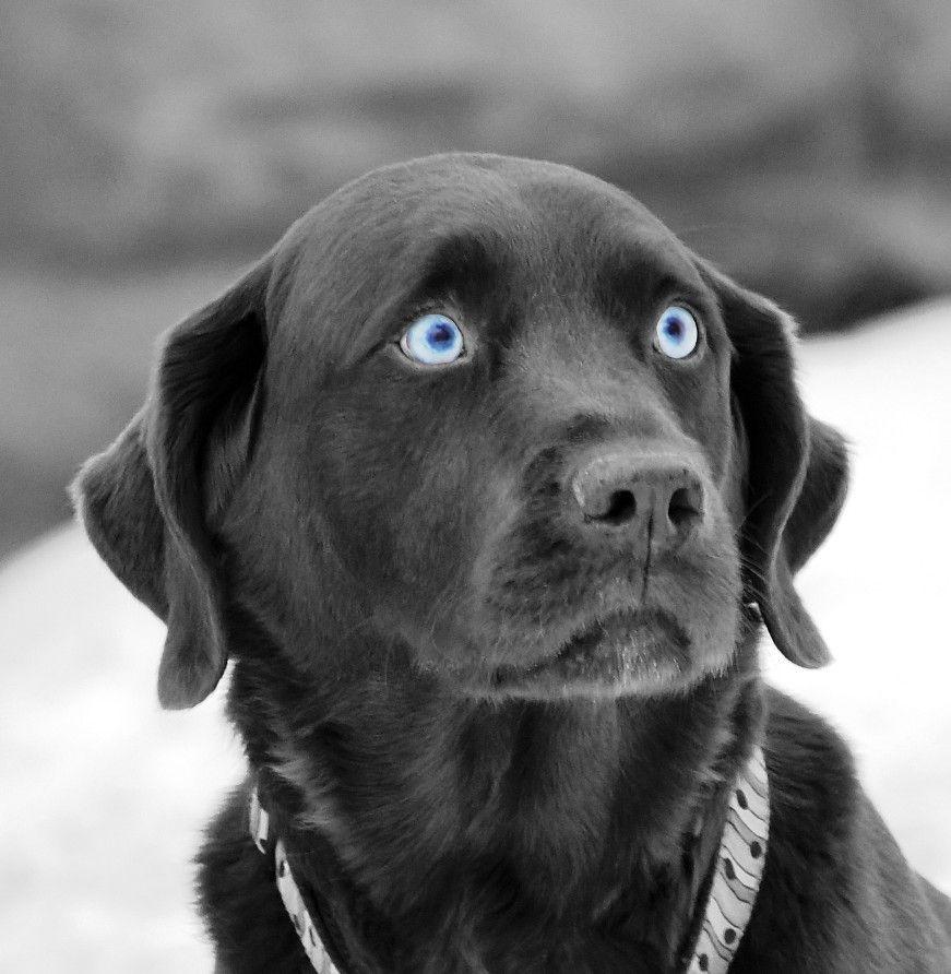 cute blue eyed dog
