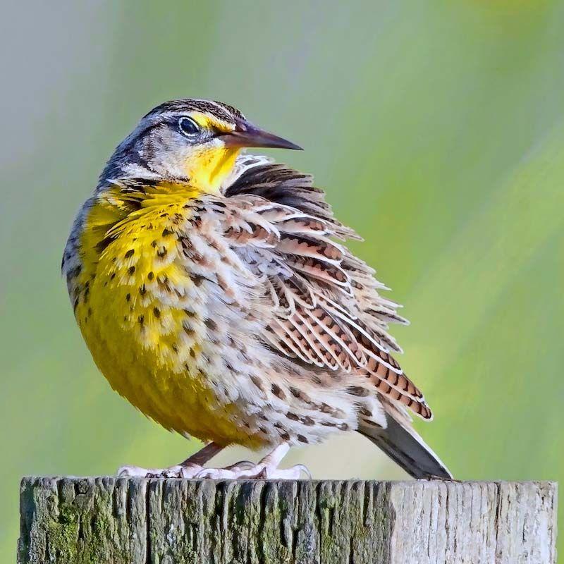 Thank You For Taking Action National Audubon Society Birds Of America Migratory Birds Audubon