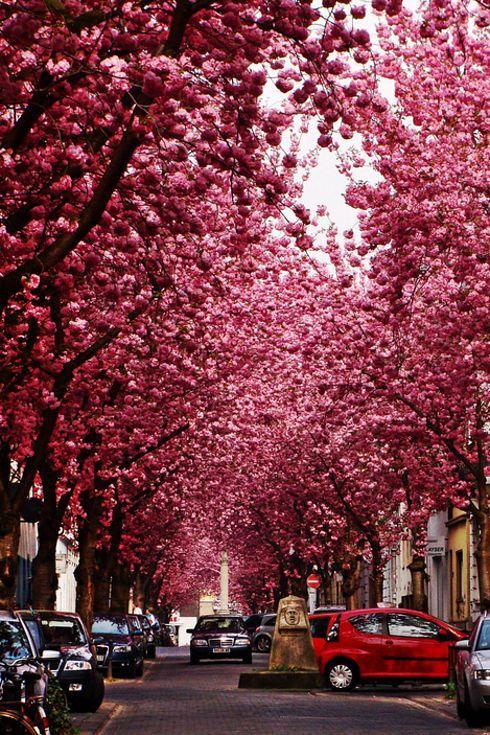 Cherry Blossom Avenue in Bonn, Germany | 13 Enchanting Tree Tunnels You Need To Walk Through