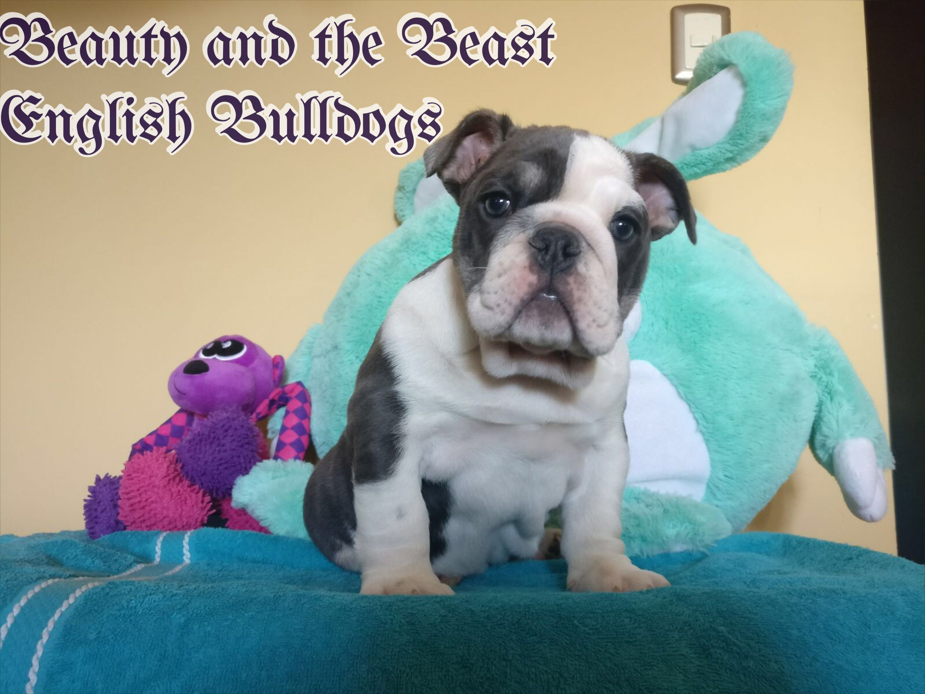Pin by Beauty and the Beast Kennel's on My Bulldogs (With