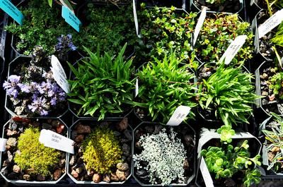 17 Best images about FAIRY GARDEN PLANTS – Plants for Fairy Gardens