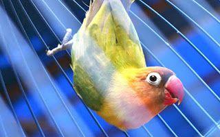 Hobi Burung Mengatasi Burung Lovebrid Ngeruji