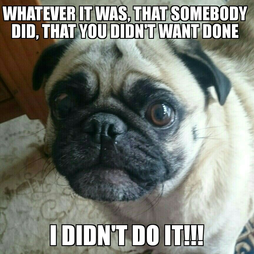 Guilty Pug Happy Birthday Pug Pugs Funny Birthday Pug