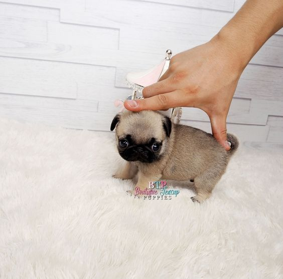 Amazing Lil Bebe Gorgeous Micro Teacup Pug Baby Girl Available