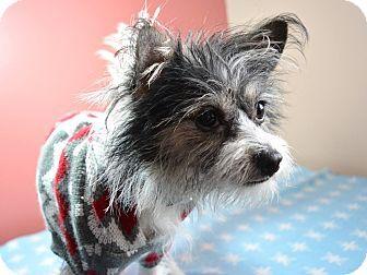 West Allis Wi Rat Terrier Yorkie Yorkshire Terrier Mix Meet