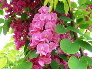 庭に植えるニセアカシア(ハリエンジュ)、フリーシア、シンボルツリーを紹介しています。