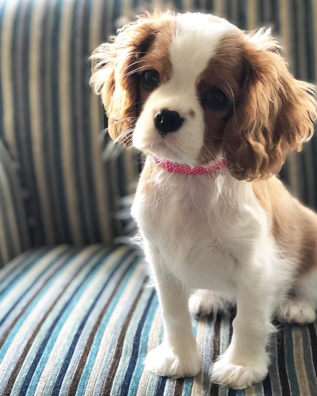 Beautiful Cavalier King Charles puppy. Cavalier king