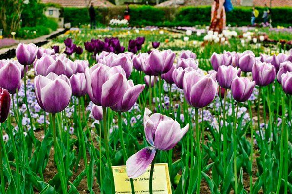 Rt Learn Photography Photography Purple Tulips By Bianca Alexandra Find More Tulips On Twitter Https Twitter Com Tulips Holland Utm Content Buffereb078 Ut
