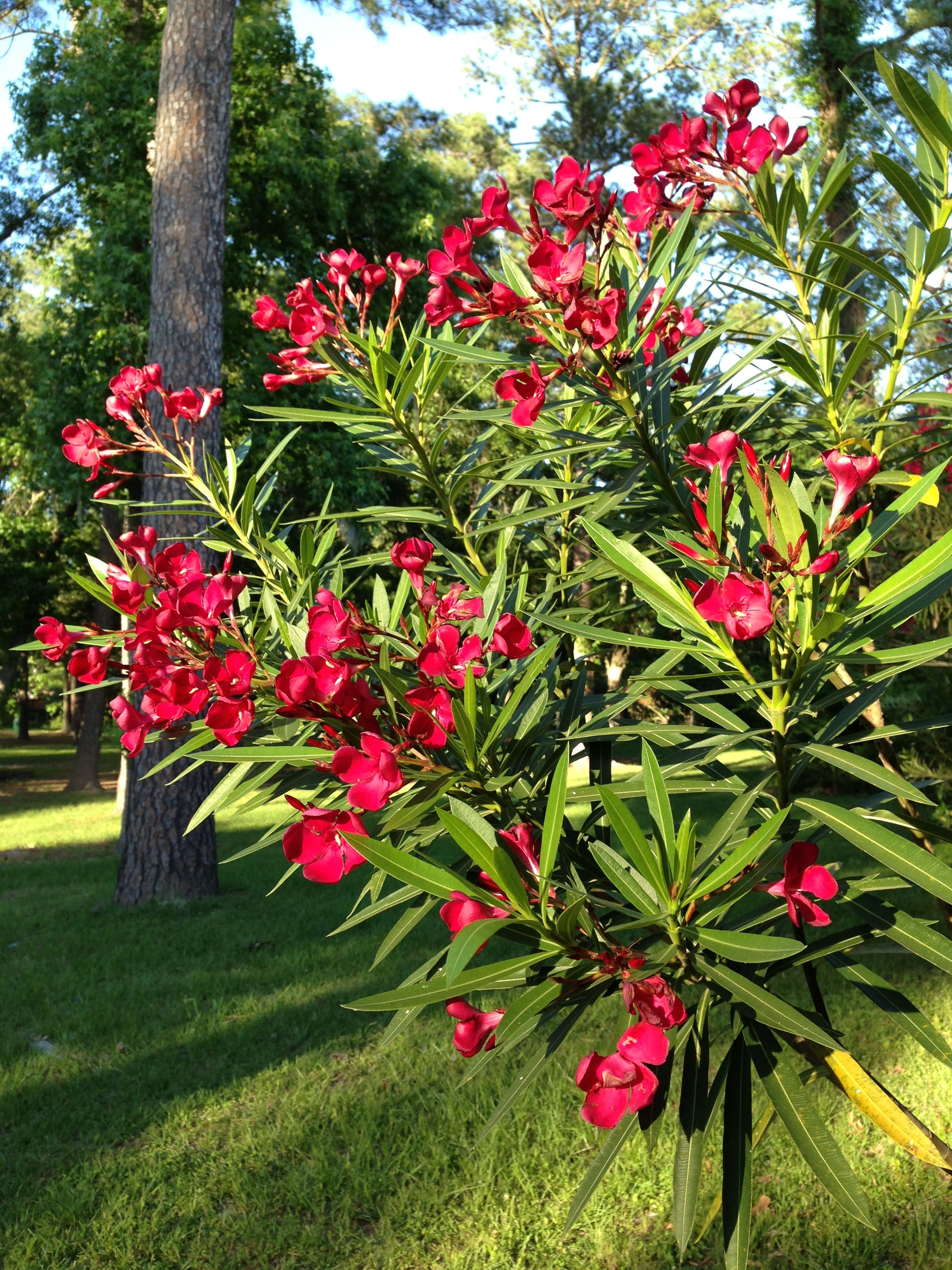 Oleander. Hope ours comes up this pretty | Garden | Pinterest ...