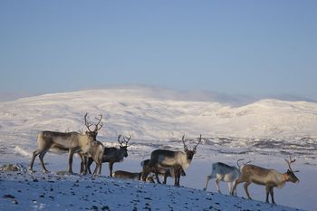 Reindeers, Swedish Lapland | | Lapland's Image Bank, pictures on bears, wolfes, lynx, wolverine, foxes and birds