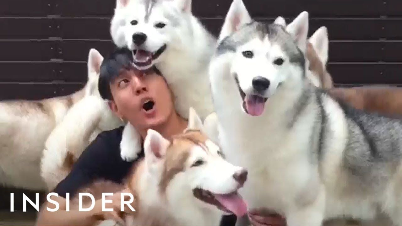 Cafe In Thailand Lets You Play With A Pack Of Huskies Youtube