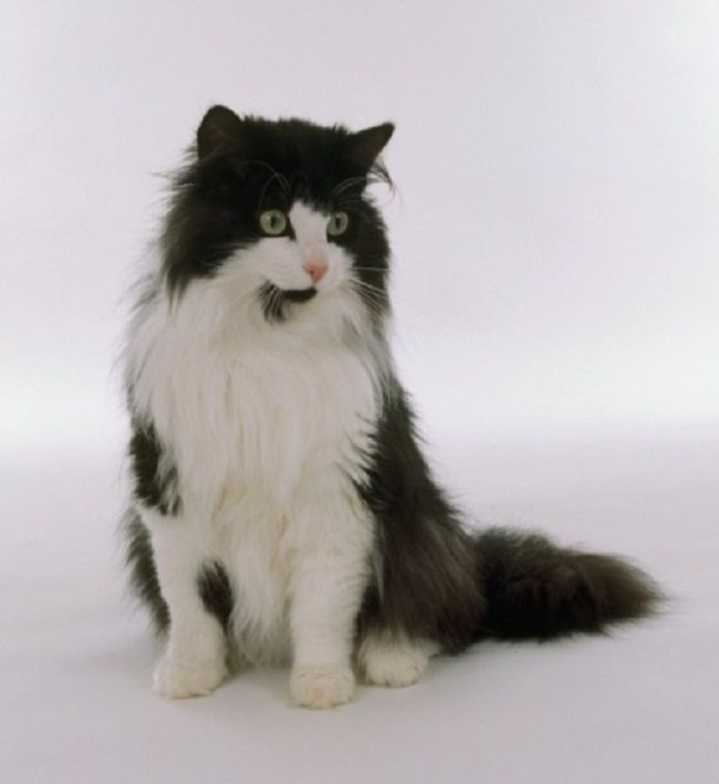 Black And White Norwegian Forest Cat Pictures Water Sky