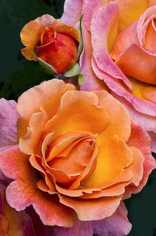 Tahitian Sunset Rose Roser Smukke Blomster Blomster Potter