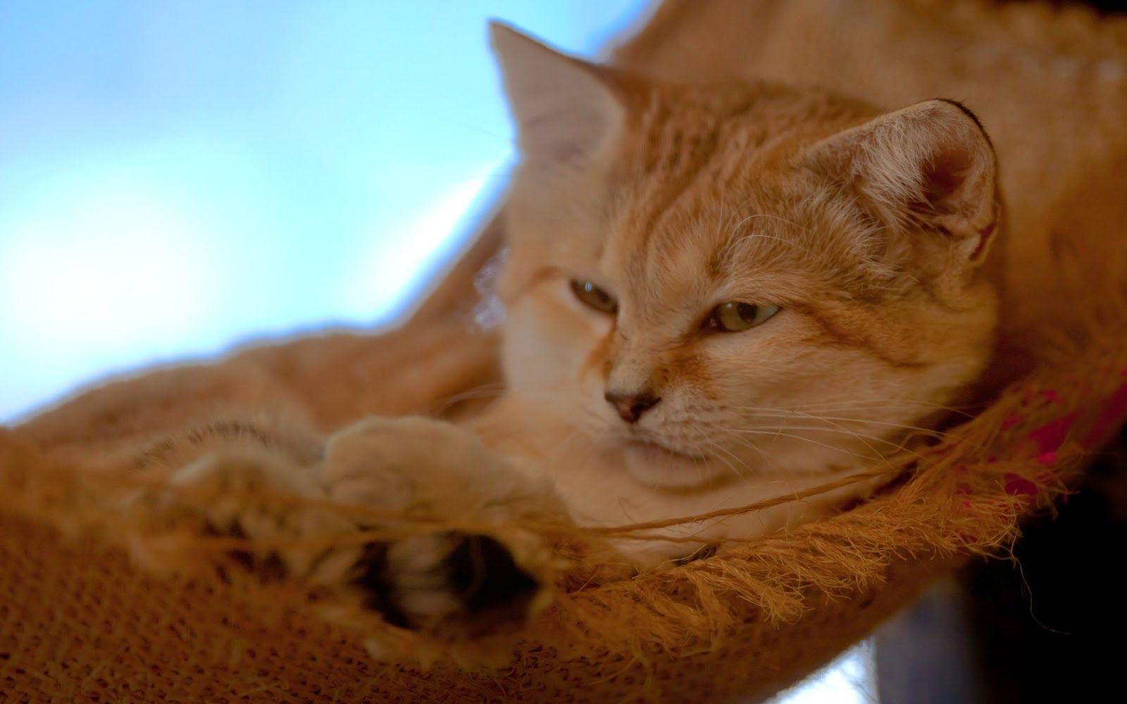 sleepingsandcat Sand cat, Cat wallpaper, Cats