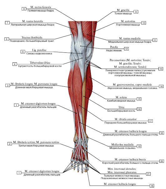 назначение инструмента анатомия ноги человека мышцы и связки фото такого