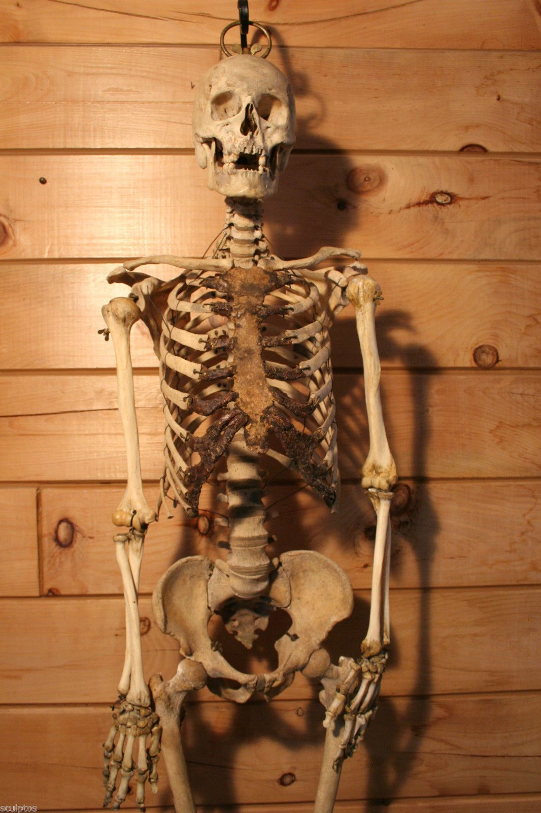Real Human Adult Male Skeleton Skull Antique Oddity For Scientific