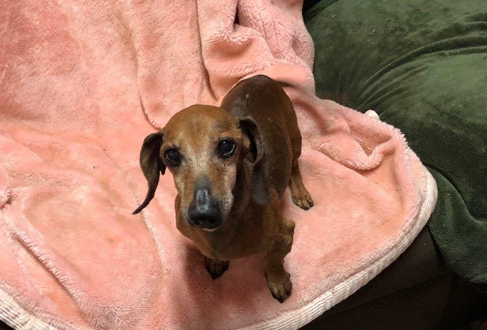 Dachshund Dog For Adoption In York Sc Adn 757058 On Puppyfinder
