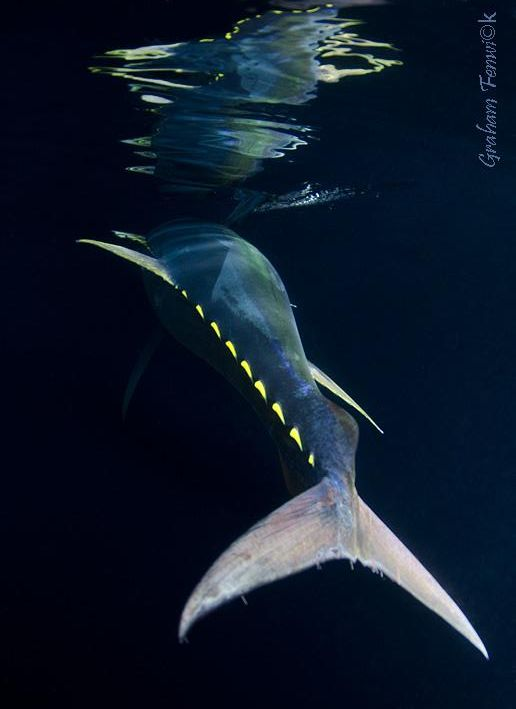 A Beautiful Shot Of A Yellowfin Tuna Reflected On The Surface See