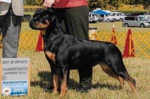 In Virginia Rottweiler Puppies For Sale Rottweiler Puppies