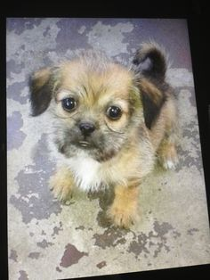 Chihuahua Pekingese Shihtzu Mix Dog Breeds Chihuahua Mix