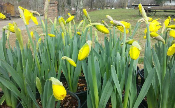 Field Of Daffodils Garden And Nursery Lenoir City Tn