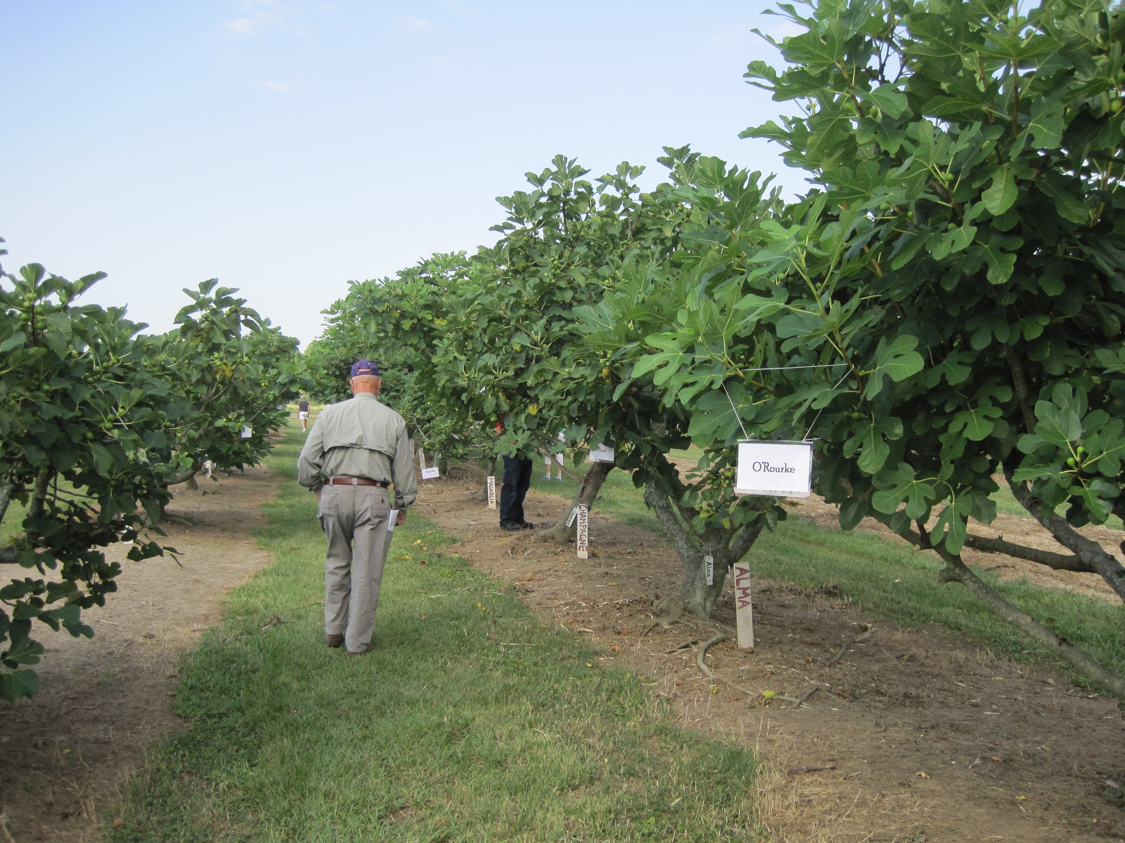 Pruning and training figs: Tree or Bush form   Garden - Espalier ...