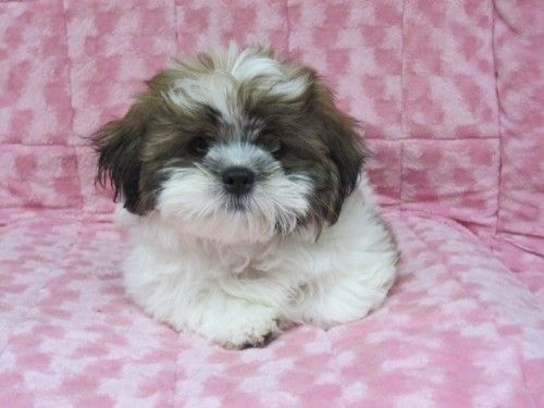 Puppy Black White Shihtzu Shihpoo Shih Tzu Poodle Yorkshireterrier Mix Breed Cute Poodle Puppy Poodle Mix Breeds Shih Poo
