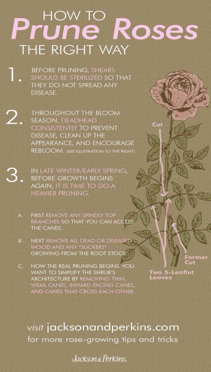 How to prune roses the right way Gardening tips flowers Rose
