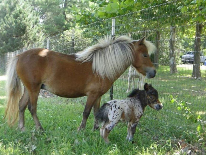 Kleinste Pferde